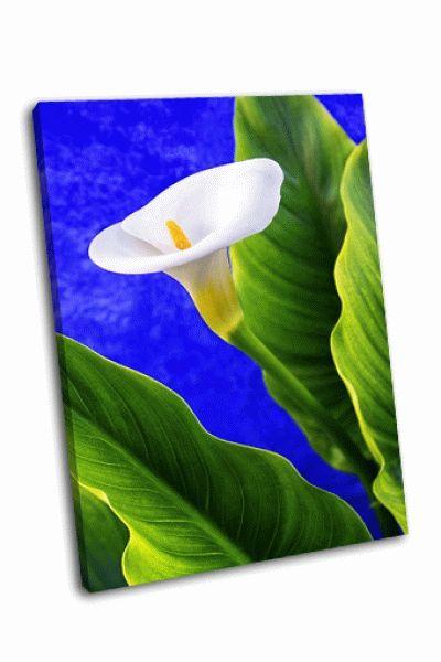 Картина белая калла и зеленые листья