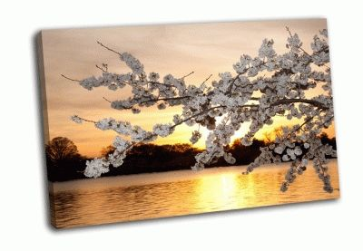 Картина цветение вишни на закате