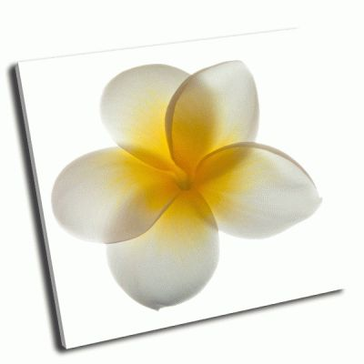 Картина цветок франжипани на белом фоне