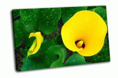 Картина желтые каллы на зеленой листве