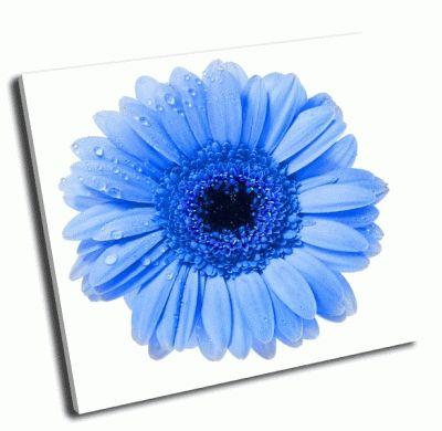 Картина голубенькая гербера с капли воды