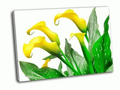 Картина калла лили на белом фоне