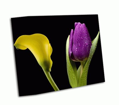 Картина калла лилии и фиолетовый тюльпан