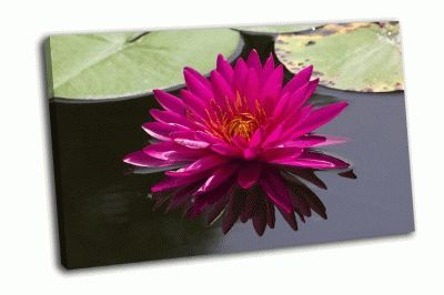 Картина красивый розовый цветок лотоса в водоеме