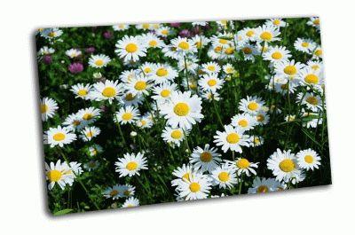 Картина поле белых ромашек