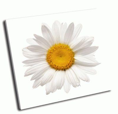 Картина ромашка на белом фоне