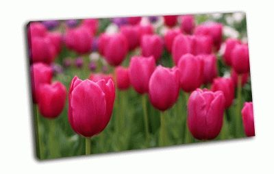 Картина розовые тюльпаны