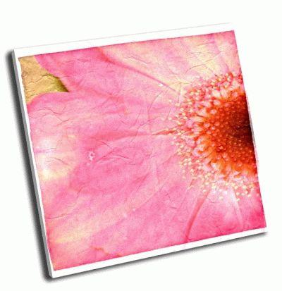 Картина розовый цветок ромашки, крупным планом