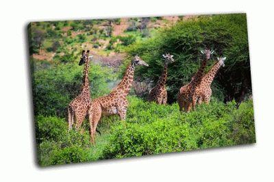 Картина три жирафа в кении