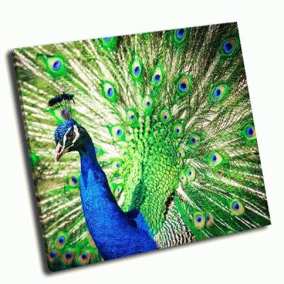 Картина великолепный павлин с перьями