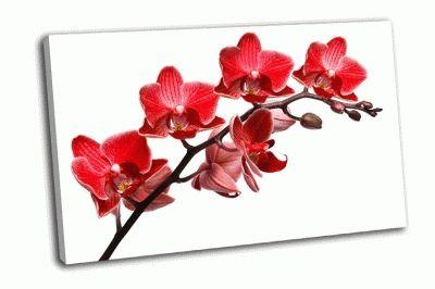 Картина ветка красной орхидеи на белом фоне