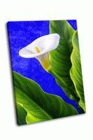Белая калла и зеленые листья