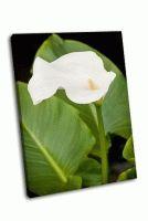 Белый цветок каллы в весеннем саду