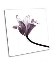Иссохший прозрачный тюльпан