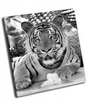 Тигр в черно-белом цвете