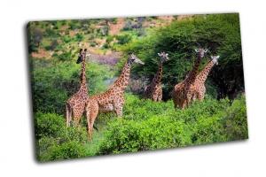 Три жирафа в Кении