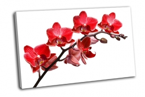 Ветка красной орхидеи на белом фоне