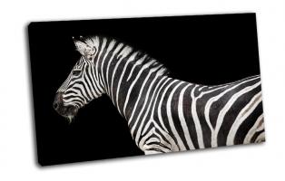 Зебра на черном фоне
