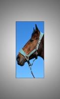 Морда лошади-2